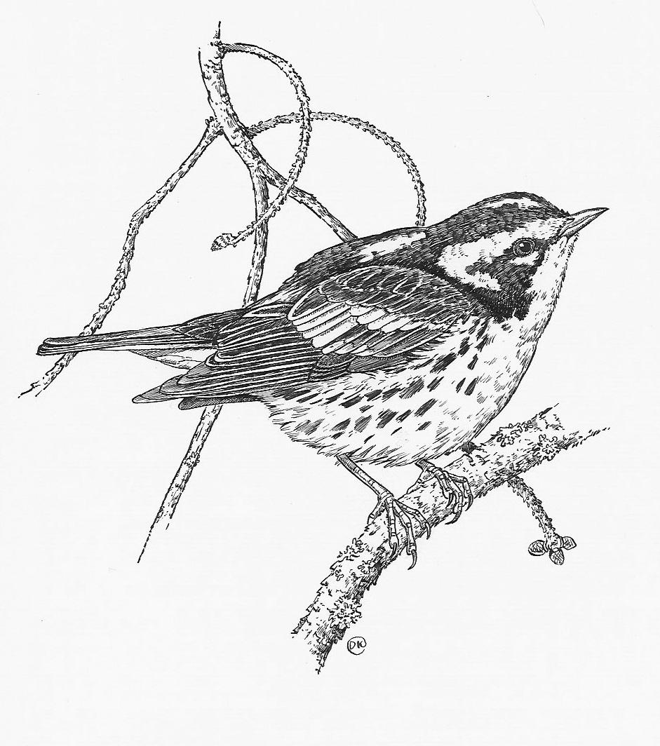 Blackburnian Warbler, Drawing by Dave Kiehm