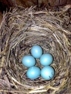 5 BB eggs in  box 6 5_7_13