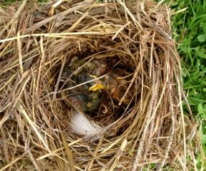 dead bluebird nestlings box 10 golf course 7-1-13