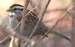 white throated sparrow - FWS
