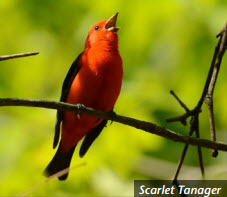 Scarlet Tanager - Photo by Dave Kiehm