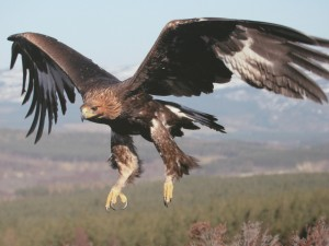 http://images5.fanpop.com/image/photos/29100000/Beautiful-Golden-Eagle-In-Flight-golden-eagles-29183845-1024-768.jpg