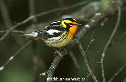 blackburnian