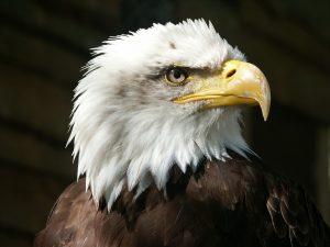 bald-eagle-550804_1280-pixabay