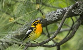 Birding by Ear 2018