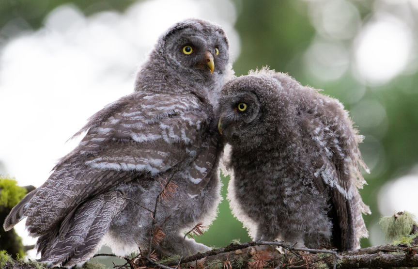 Great gray owlets-Photo by Kyle Dudgeon;
