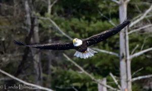 Photo: Bald Eagle by Landa Palmer